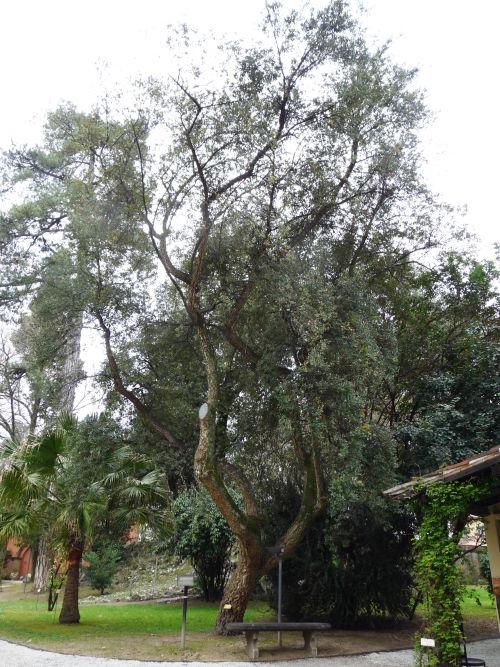 L 39 orto botanico di lucca - Sughero pianta da giardino ...